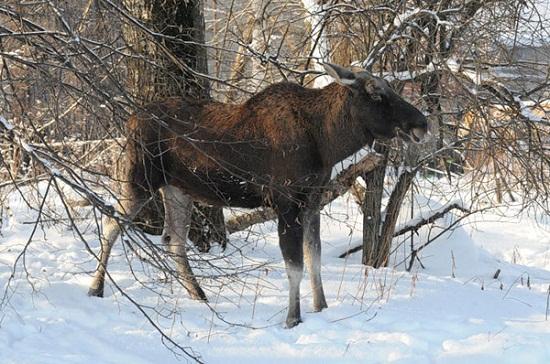 Лось в парке Русский Север в зимний период