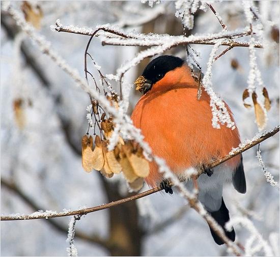 Снегири в зимнем лесу - Русский Север