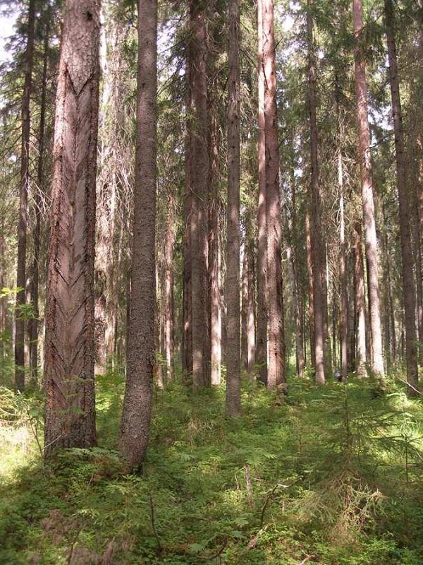 Старый елово-сосновый лес