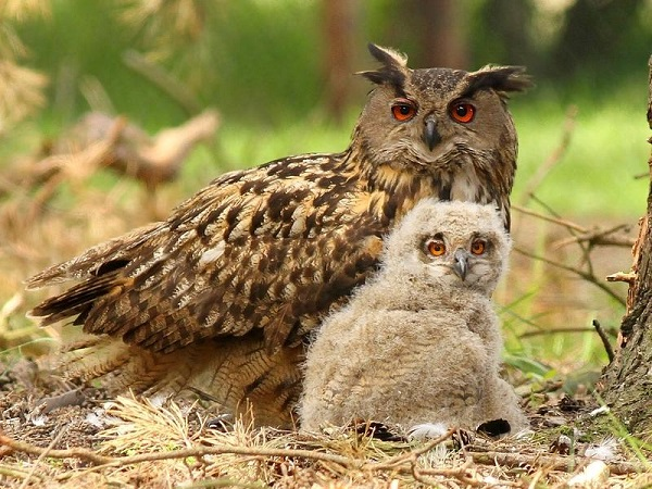 Взрослый филин с птенцом